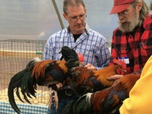 Rooster selection