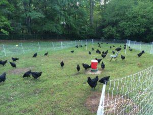 black heritage chickens