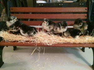 Baby chicks