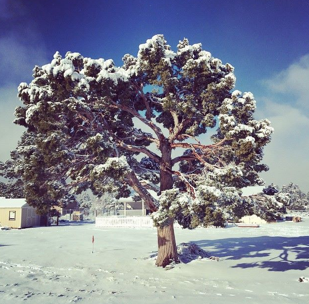Large Tree covered in Snow