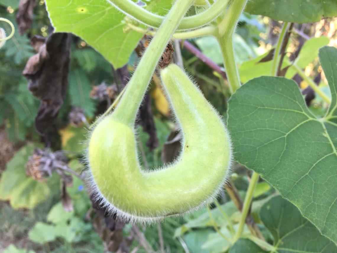 squash or gourd