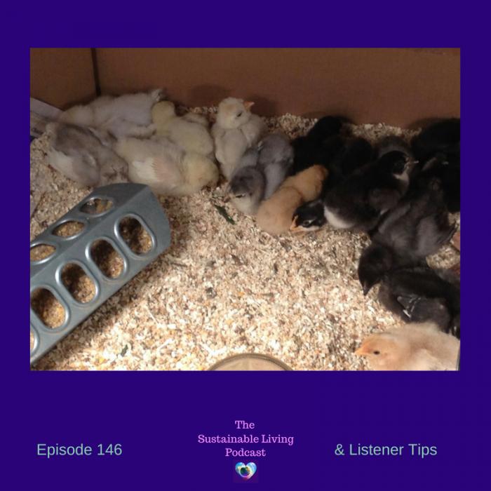 chicks or hens